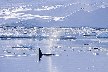 A small pod of 6 to 8 Type B killer whales (Orcinus nanus) in dense first year sea ice south of the Antarctic Circle near Adelaide Island, Gullet, Antarctica, Southern Ocean