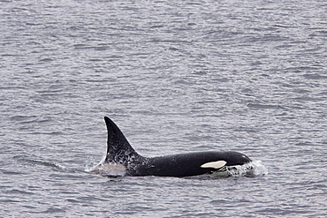 A small pod of at least 2 adult bull killer whales (Orcinus orca)  near Cape Horn, South America