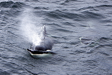 A small pod of 6 killer whales (Orcinus orca) near Cape Horn, South America