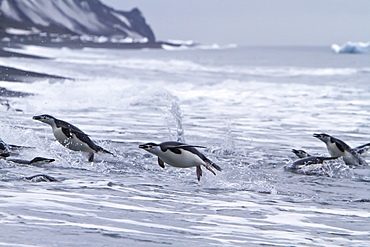 Chinstrap penguin (Pygoscelis antarctica) in surf conditions at Baily Head on Deception Island, South Shetland Island Group, Antarctica
