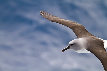 Adult Grey-headed Albatross, (Thalassarche chrysostoma) on the wing in the Drake Passage between South America and the Antarctic Peninsula, Southern Ocean