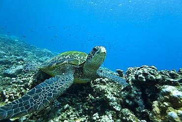 Adult green sea turtle (Chelonia mydas) in the protected marine sanctuary at Honolua Bay, Maui, Hawaii, USA