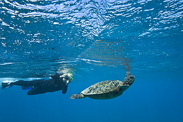 Snorkeler with green sea turtle (Chelonia mydas) at cleaning station at Olowalu Reef on the west side of the island of Maui, Hawaii, USA