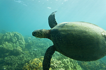 Green sea turtle (Chelonia mydas) at cleaning station (note fishing hook embedded in mouth) at Olowalu Reef on the west side of the island of Maui, Hawaii, USA