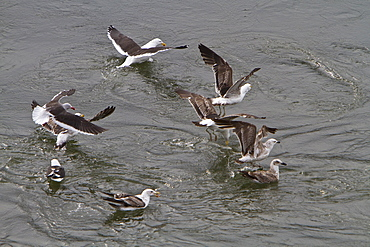 Adult kelp gull (Larus dominicanus) foraging for small crustaceans in Ushuaia, Tierra del Fuego, Argentina, Southern Ocean