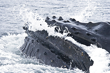 """A group of adult humpback whales (Megaptera novaeangliae) co-operatively """"bubble-net"""" feeding in Snow Pass in Southeast Alaska, USA"""