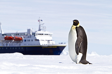 Adult emperor penguin (Aptenodytes forsteri) near the Lindblad Expedition Ship National Geographic Explorer in Antarctica in the summer months.