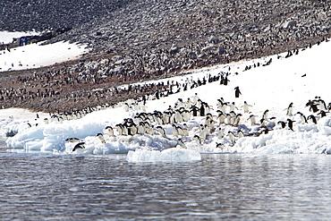 Adelie penguin (Pygoscelis adeliae) breeding colony on Paulet Island in the Weddell Sea, Antarctica.