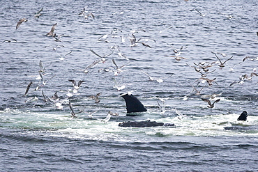 """A group of adult humpback whales (Megaptera novaeangliae) co-operatively """"bubble-net"""" feeding in Snow Pass in Southeast Alaska, USA. Pacific Ocean.    (rr)"""