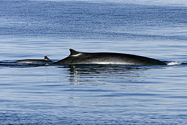 Adult Fin Whale (Balaenoptera physalus) surfacing in the lower Gulf of California (Sea of Cortez), Mexico.