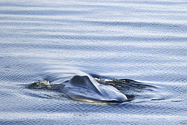Adult fin whale (Balaenoptera physalus) surfacing in the calm waters off Isla San Esteban, Gulf of California (Sea of Cortez), Baja California, Mexico