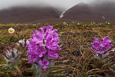 A close-up view of Arctic lousewort (Pedicularis langsdorfii) in Svalbard, Norway