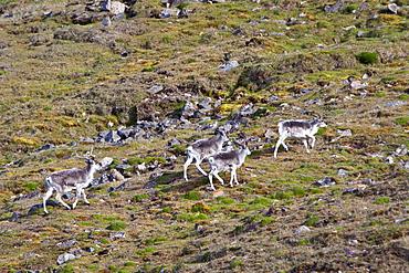 Svalbard reindeer (Rangifer tarandus platyrhynchus) on tundra in Lillehkfjord on Spitsbergen Island in the Svalbard Archipelago, Norway