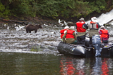 Brown Bear (Ursus arctos) being watched by boat at Pavlof Harbor on Chichagof Island in Southeast Alaska, USA, Pacific Ocean.