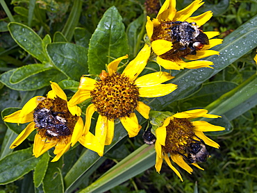 Bees awaiting the warmth and dryness of the sun on flowers in Fox Cove, Chichagof Island, Southeast Alaska, USA.