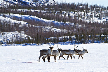 A small group of caribou (Rangifer tarandus) migrating north to feeding grounds in the spring from Yellowknife, Northwest Territories, Canada