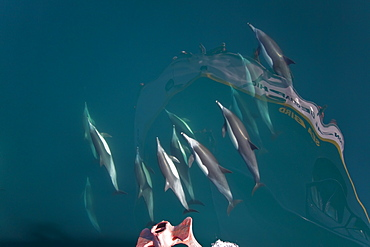 Long-beaked common dolphin pod (Delphinus capensis) bow riding the National Geographic Sea Bird, southern Gulf of California (Sea of Cortez), Baja California Sur, Mexico