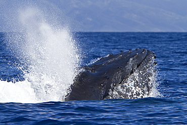 Adult male humpback whale (Megaptera novaeangliae) head-lunging in the AuAu Channel between the islands of Maui and Lanai, Hawaii, USA, Pacific Ocean