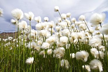 A large stand of Arctic cotton (Eriophorum callitrix) in Denali National Park, Alsaka, USA