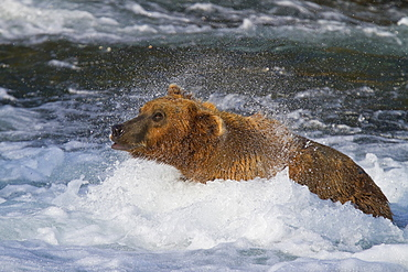 Adult brown bear (Ursus arctos) foraging for salmon at the Brooks River in Katmai National Park near Bristol Bay, Alaska, USA, Pacific Ocean