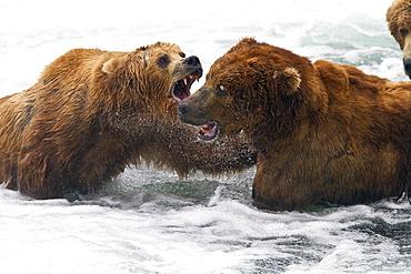 Adult brown bear (Ursus arctos) foraging for salmon at the Brooks River in Katmai National Park near Bristol Bay, Alaska, USA, Pacific Ocean