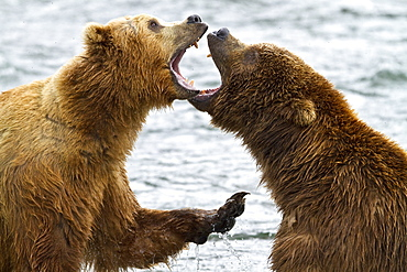 Adult brown bears (Ursus arctos) disputing fishing rights for salmon at the Brooks River in Katmai National Park near Bristol Bay, Alaska, USA. Pacific Ocean