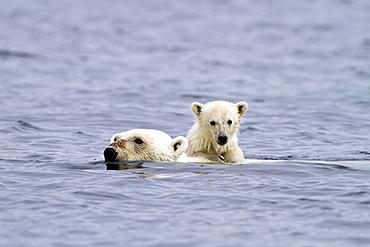 Polar bears (Ursus maritimus) adult and cub swimming. Monacobreen Glacier, Spitsbergen in the Svalbard Archipelago, Norway