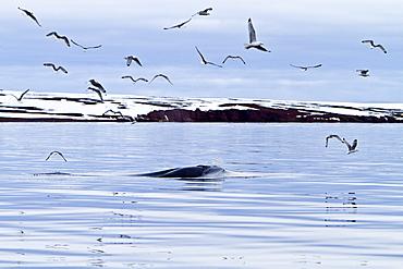 Adult common (northern) minke whale (Balaenoptera acutorostrata) sub-surface feeding in the rich waters of Woodfjord, Spitsbergen, Svalbard Archipelago, Norway
