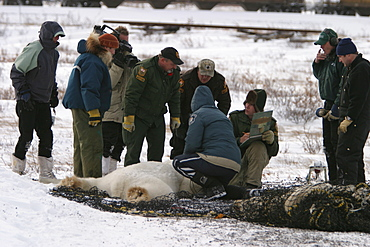 Tranquilized Polar Bear, Ursus maritimus, being prepared for transfer by helicopter near Churchill, northern Manitoba, Hudson Bay, Canada