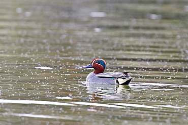 Adult common teal  (Anas crecca)  in full breeding plumage in the calm waters of Lake Myvatn, Iceland