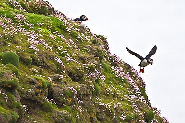 Adult puffin (Fratercula arctica) during breeding season on Sumburgh Head, Shetlands, Scotland