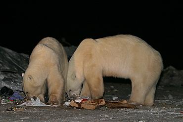 Habituated Polar Bears, Ursus maritimus, feeding in the dump at night near Churchill, northern Manitoba, Hudson Bay, Canada