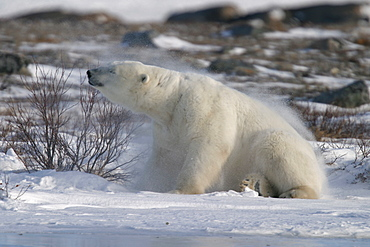 Adult male Polar Bear, Ursus maritimus, shaking like a dog after scratching his back on a willow tree near Churchill, northern Manitoba, Hudson Bay, Canada