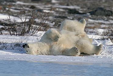 Adult male Polar Bear, Ursus maritimus, scratching his back/sleeping on ice near Churchill, northern Manitoba, Hudson Bay, Canada