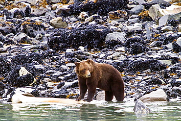 Adult brown bear (Ursus arctos) chewing on humpback whale jawbone at Scidmore Cut in Glacier Bay National Park, Alaska, USA