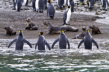 King penguin (Aptenodytes patagonicus) breeding and nesting colony Fortuna Bay on South Georgia Island, Southern Ocean.