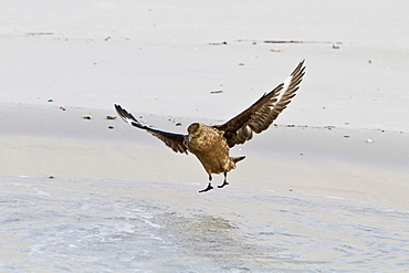 An adult Brown Skua (Catharacta antarctica) at Stromness Bay on South Georgia Island in the Southern Ocean