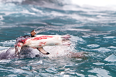 Adult leopard seal (Hydrurga leptonyx) Catching, flailing, and eating a chinstrap penguin at Point Wild on Elephant Island, South Shetland Islands, Southern Ocean