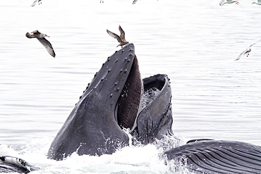 """A group of adult humpback whales (Megaptera novaeangliae) co-operatively """"bubble-net"""" feeding in Southeast Alaska, USA. Pacific Ocean"""
