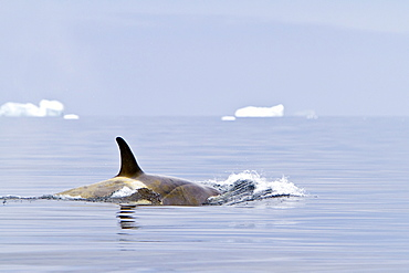 """A small pod of about 25 """"Type B"""" killer whales (Orcinus orca) south of the Antarctic Circle near the Antarctic Peninsula, Antarctica, Southern Ocean"""