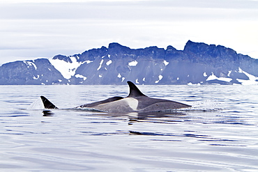 """A small pod of about 25 """"Type B"""" killer whales (Orcinus orca) near the Antarctic Peninsula, Antarctica, Southern Ocean"""