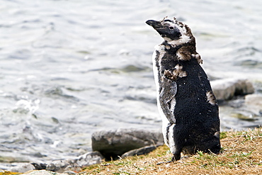 Magellanic penguins (Spheniscus magellanicus) on the beach at a breeding and molting site on Carcass Island, Falkland Islands, South Atlantic