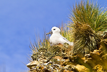 Black-browed albatross (Thalassarche melanophrys) chick in the nest on New Island in the Falkland Islands, South Atlantic Ocean