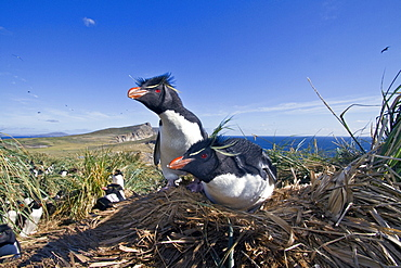 Adult rockhopper penguin (Eudyptes chrysocome chrysocome) at breeding and molting colony on New Island in the Falkland Islands, South Atlantic Ocean