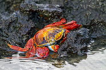 Sally lightfoot crab (Grapsus grapsus) in the littoral of the Galapagos Island Archipelago, Ecuador