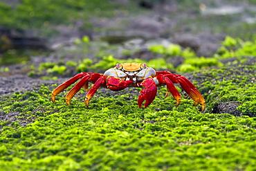 Sally lightfoot crab (Grapsus grapsus) in the littoral of the Galapagos Island Archipelago, Ecuador