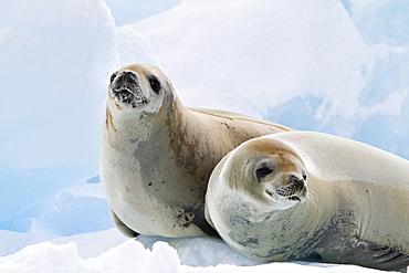 Crabeater seal (Lobodon carcinophaga) hauled out on ice floe near the Antarctic Peninsula, Antarctica