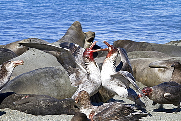 Northern giant petrel (Macronectes halli) fighting over the scavenging rights to a dead elephant seal pup at Royal Harbor on South Georgia Island, Southern Ocean