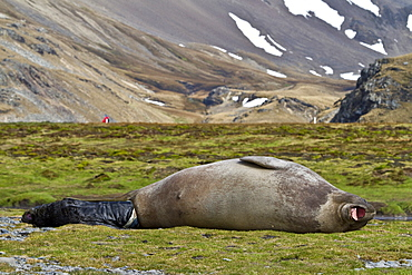 Pregnant female southern elephant seal (Mirounga leonina) giving birth on the beach near the abandoned whaling station at Stromness Bay on South Georgia Island in the Southern Ocean
