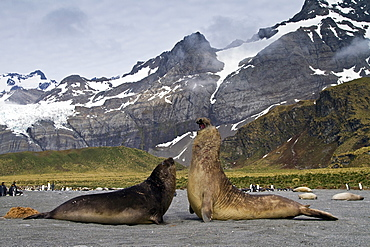 Adult bull southern elephant seals (Mirounga leonina) fighting for breeding grounds on South Georgia Island in the Southern Ocean